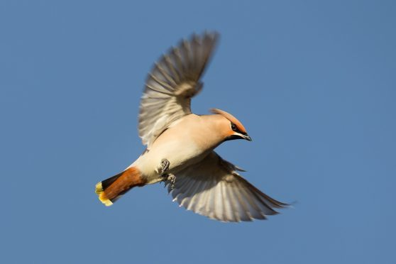 A Waxwing pictured in Scotland.
