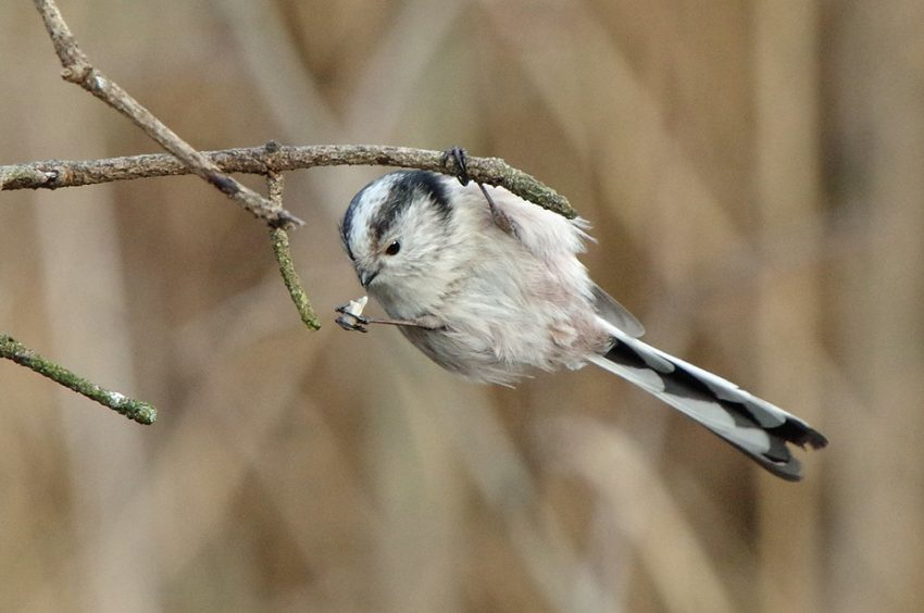 A long tailed tit, by Gayle Blackie
