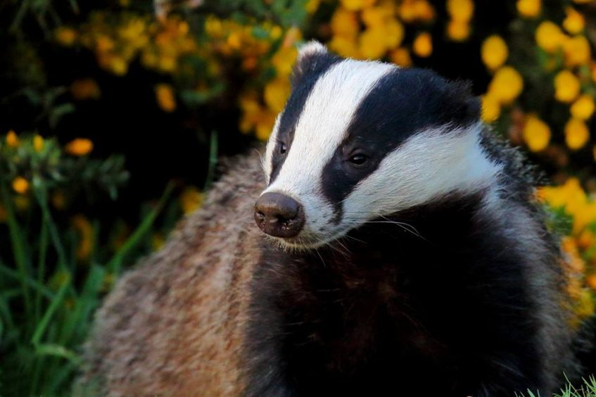 A badger in gorse by Beverley Thain