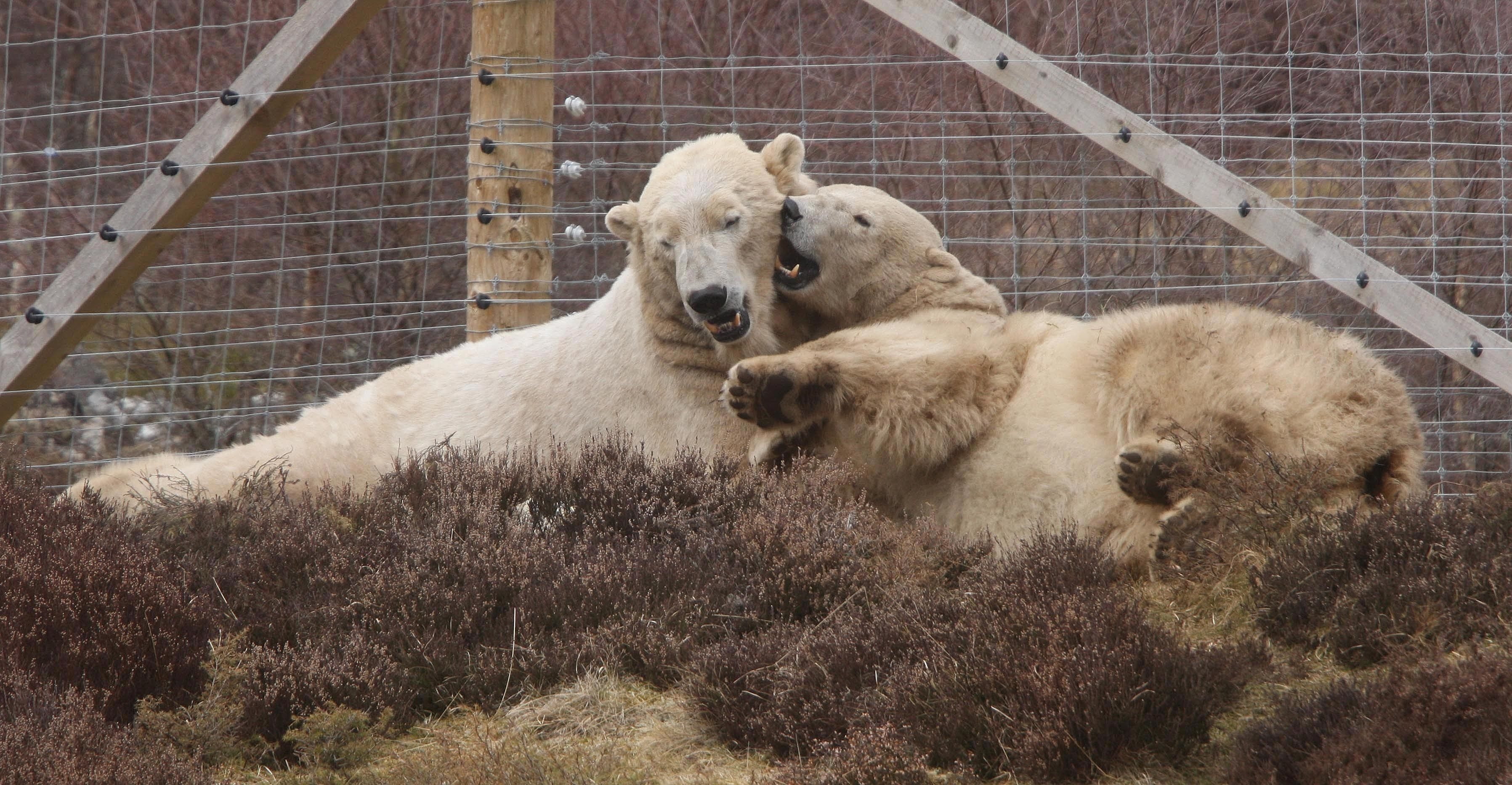 Victoria is currently out of public viewing because it is believed she is pregnant after mating with Arktos - one of the two male polar bears at the zoo - in the spring.