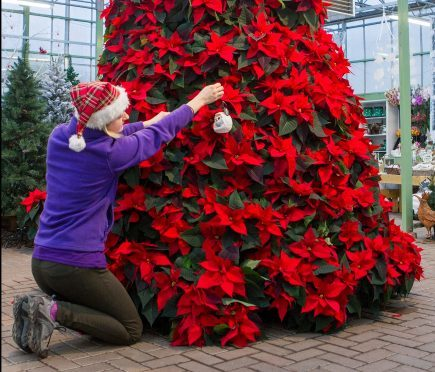 The final touches are put to a festive 9 foot poinsettia Christmas tree at Pentland Plants Garden Centre, Midlothian.