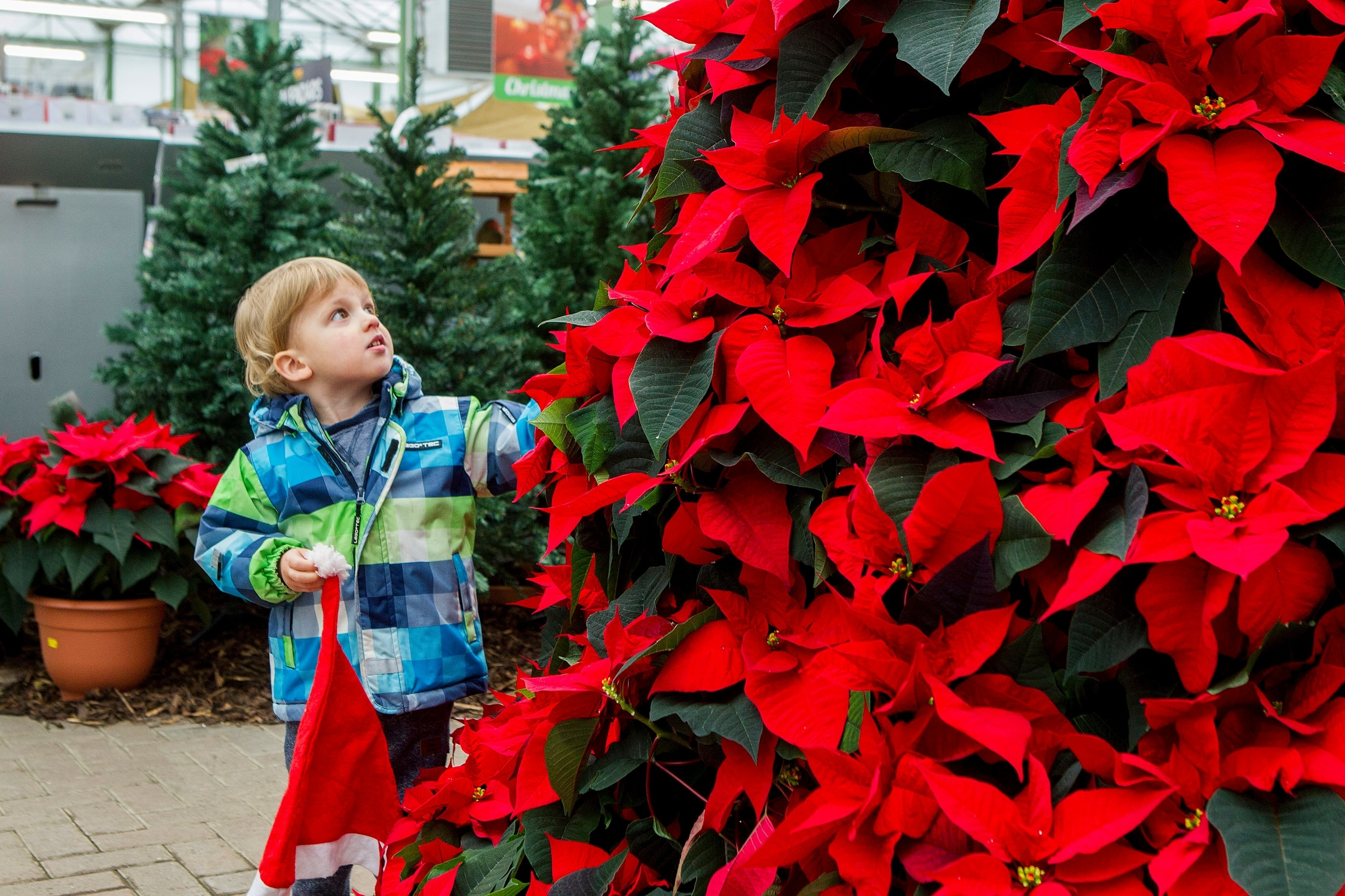 Two-year-old Blake Wilson with a festive 9 foot poinsettia Christmas tree at Pentland Plants Garden Centre, Midlothian.