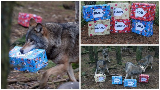 The six adorable pups at RZSS Highland Wildlife Park at Kincraig near Kingussie have received a special gift to celebrate their first Christmas there.