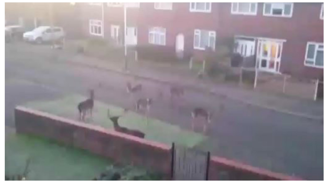 The herd spent 15 minutes walking up and down the street after coming from a nearby nature reserve in East London.