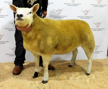 The champion Texel from last year's sale