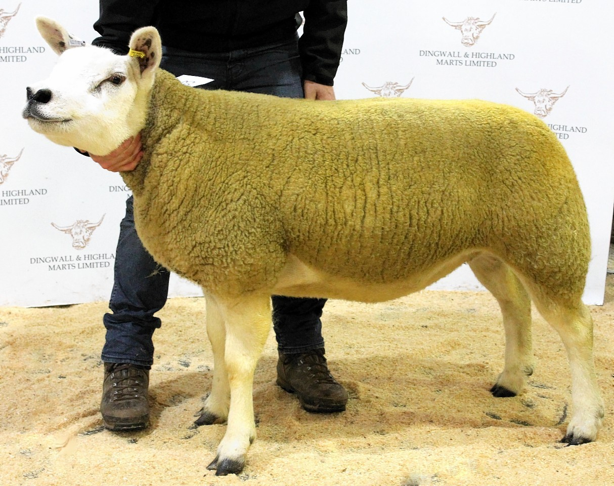 The top priced Texel gimmer