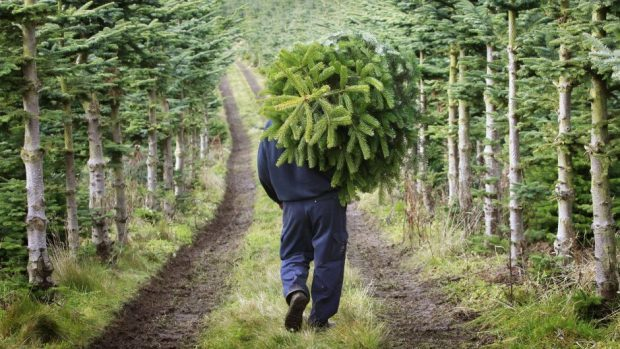 A Christmas tree farm could be yours for just £150,000.