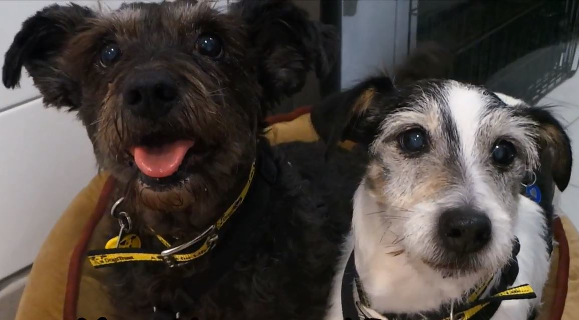 Meet Jerry the Jack Russell Terrier and Harvey the Tibetan Terrier