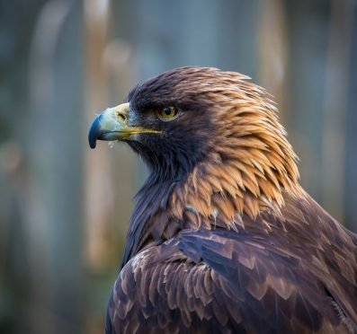 A Golden Eagle