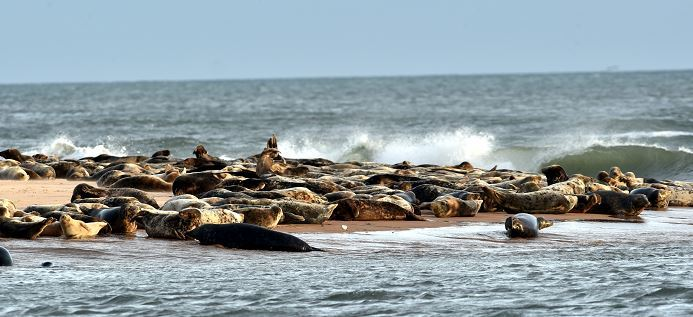 Some of the Ythan seals haul-out