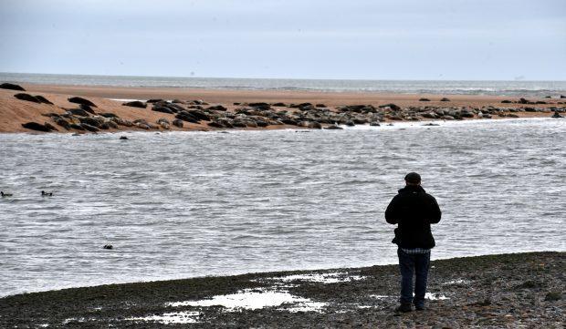 Seals at Newburgh beach in Aberdeenshire Picture by COLIN RENNIE   December 1, 2016.