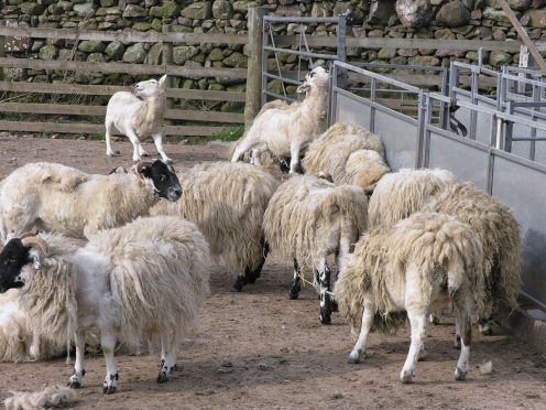 Sheep scab is a serious problem in the industry.