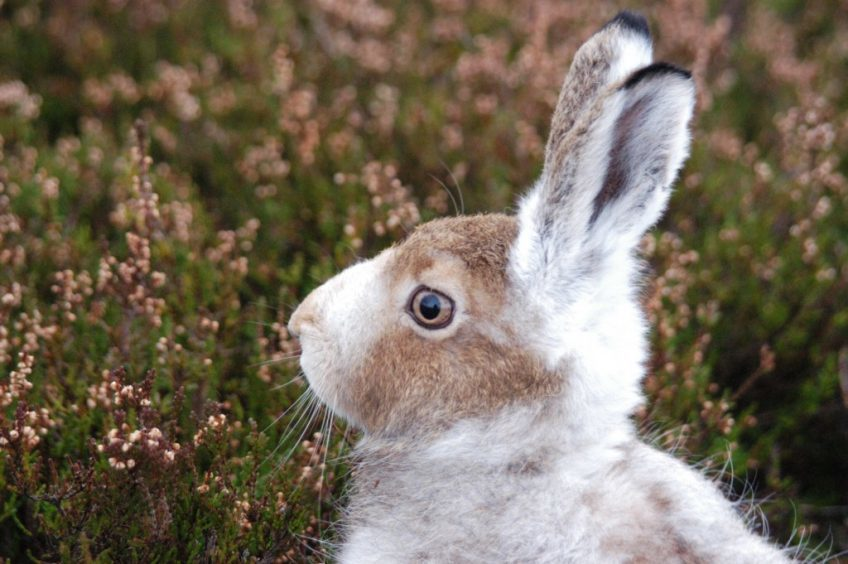 Gamekeepers are concerned about plans to give mountain hares full protection.