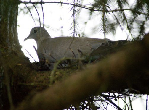 A pigeon nests in Fort William's Christmas tree