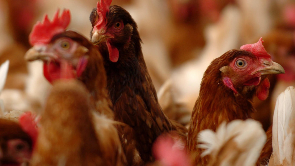 The study looked at the transmission of bird flu from wild birds to commercial poultry.