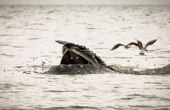 A humpback feeding off the coast of Newburgh. Photograph courtesy of Eilidh Watson