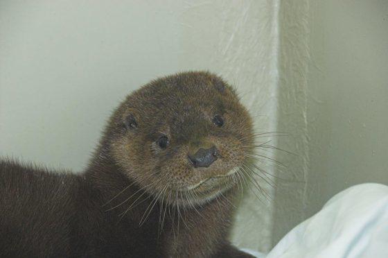 Devon the otter. (Picture: SSPCA)
