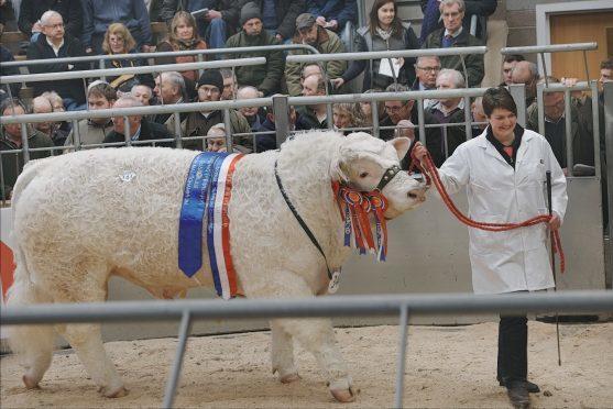 Jemma Forrest leads her champion bull Edenhurst Leader round the sale ring
