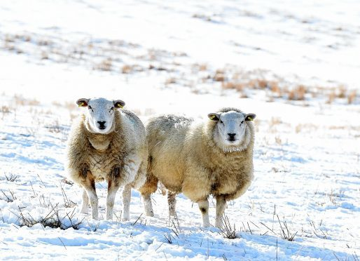 The sheep were targeted in a field on the Philorth Estate near Fraserburgh