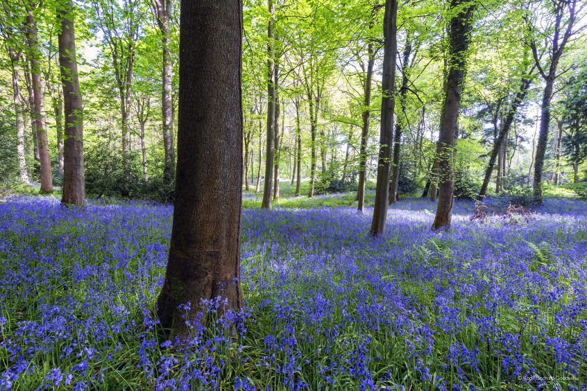 Bluebell Carpet, Dalkeith Country Park, by Rod Hanchard-Goodwin