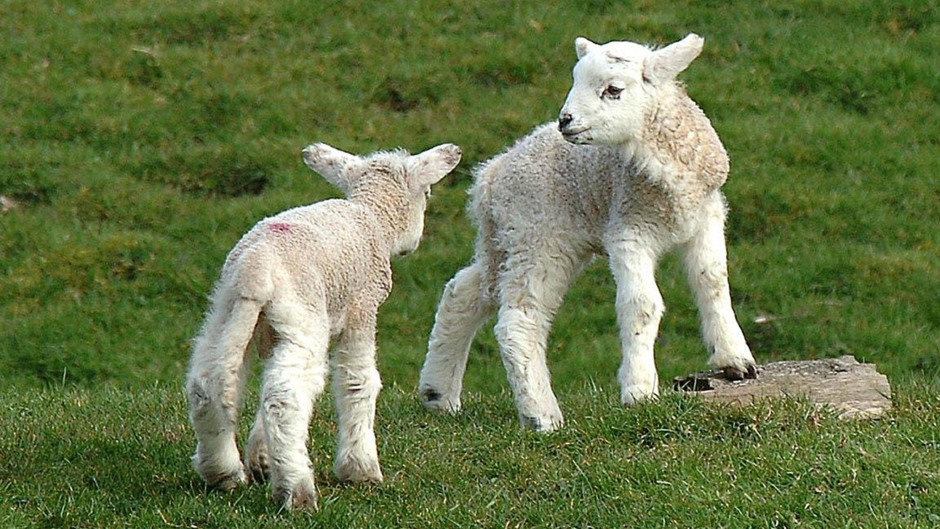 The lambs will be on show this weekend in Turriff.