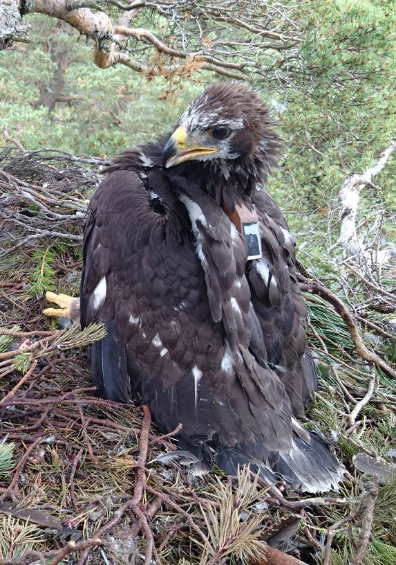 Bird 338 in its Deeside nest after being tagged in July 16