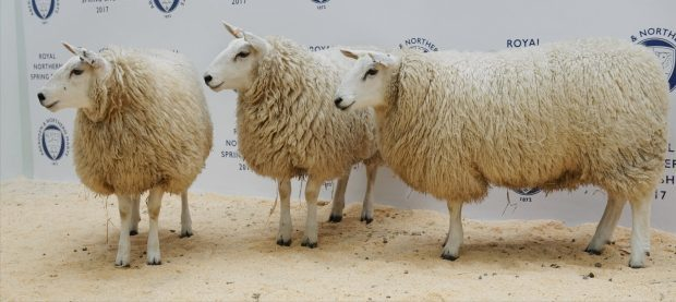 The champion pen of breeding sheep from Messrs Sutherland