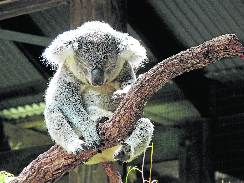 yl-AussieKoala