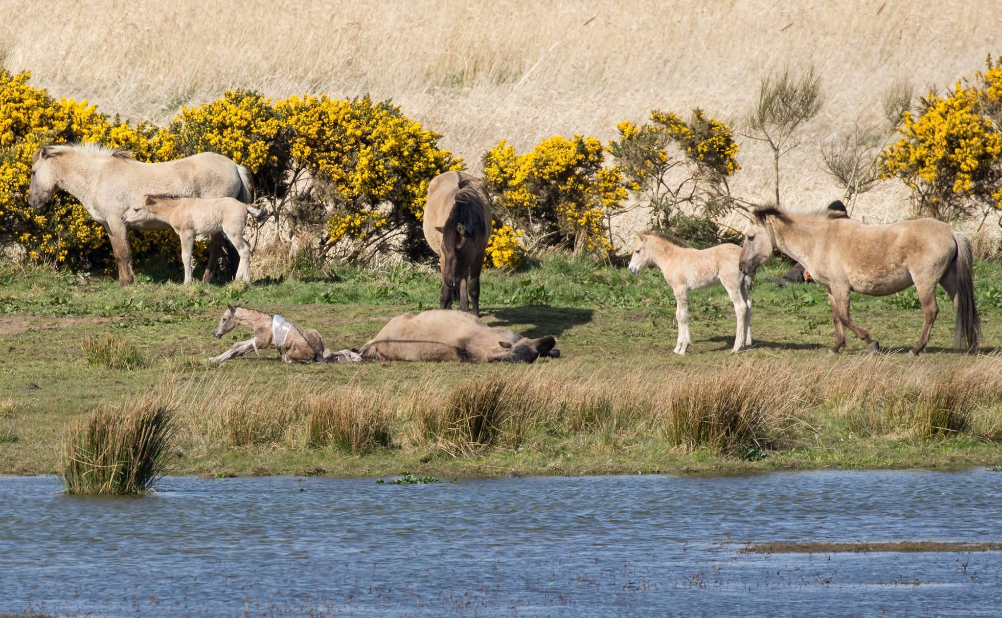 The first moments of life for Loch of Strathbeg's newest pony, captured by Brian Sandison