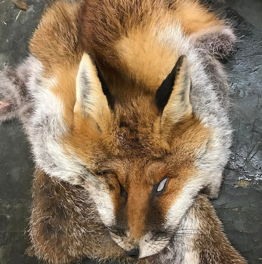 A dead fox being prepared to be made into a sporran.