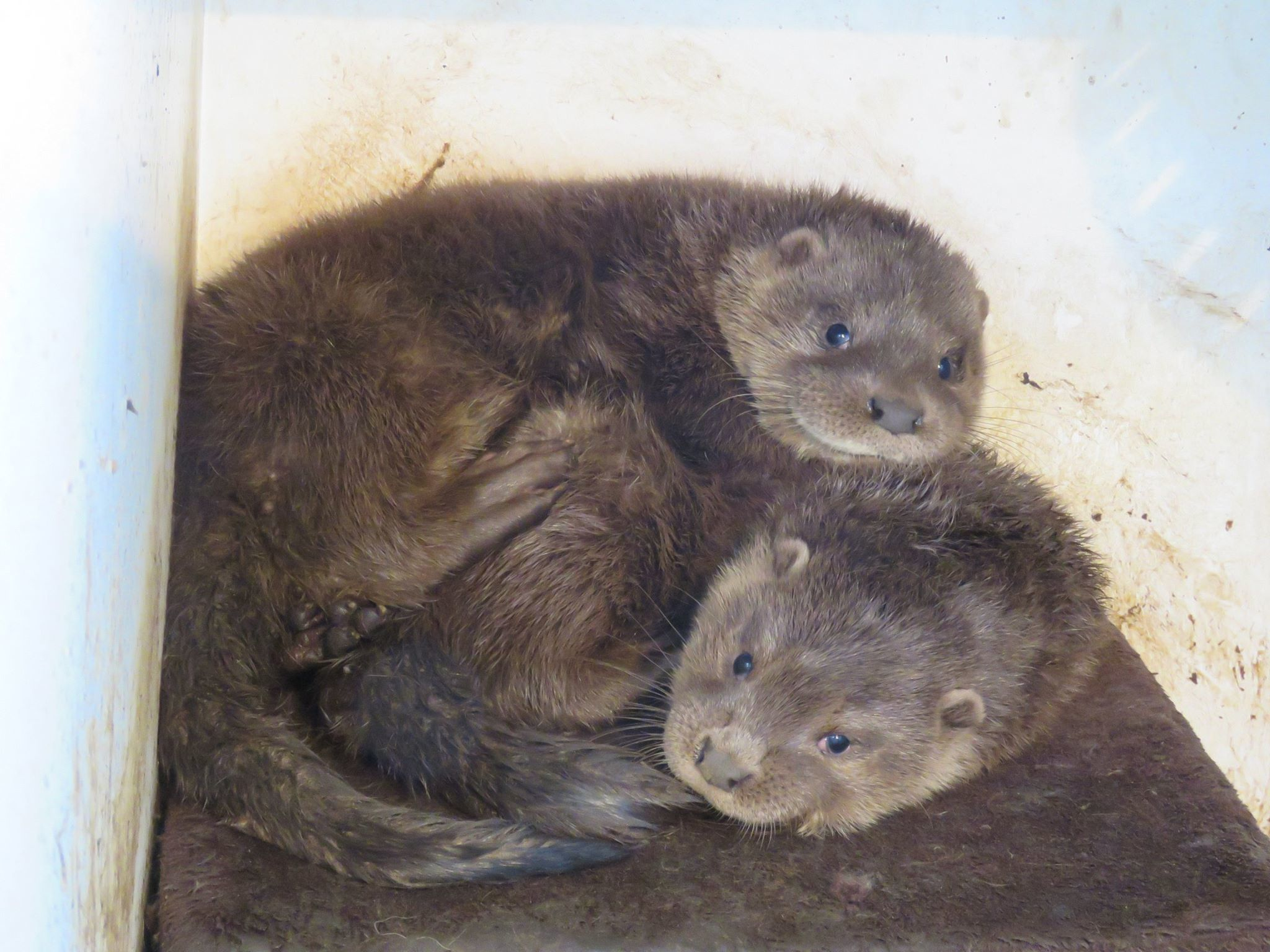 Dee and Don the rescued otters at the New Arc, Ellon. (photo by Mel Noble)