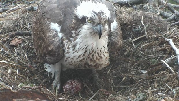 Osprey LF15 (Lassie) with her first egg at Loch of the Lowes Scottish Wildlife Reserve in 2017.