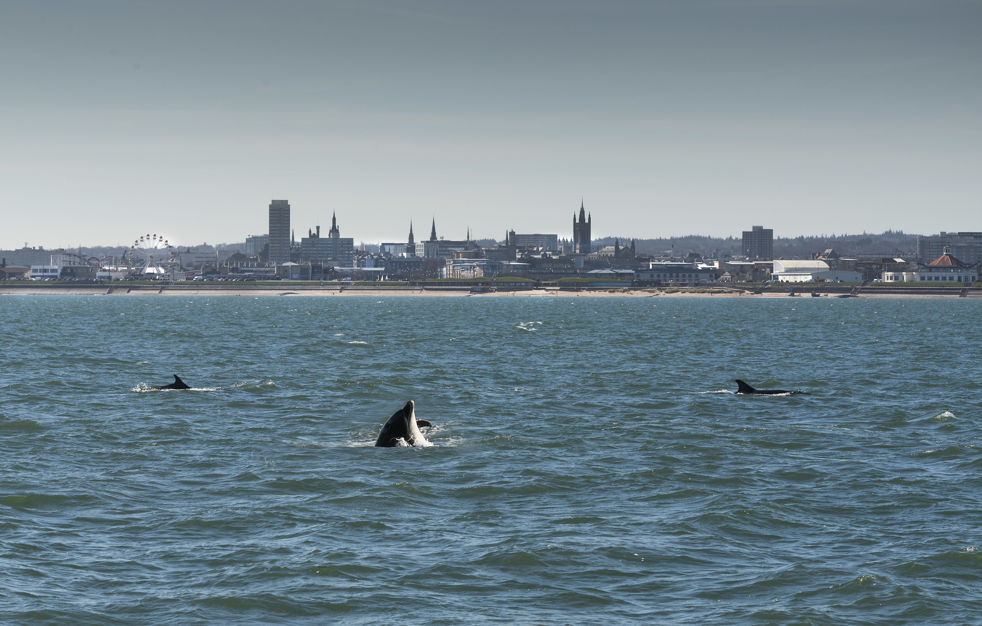Aberdeen is quickly becoming renowned as a world-class destination for dolphin watching