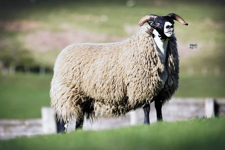 The £12,000 Dalchirla ewe hogg