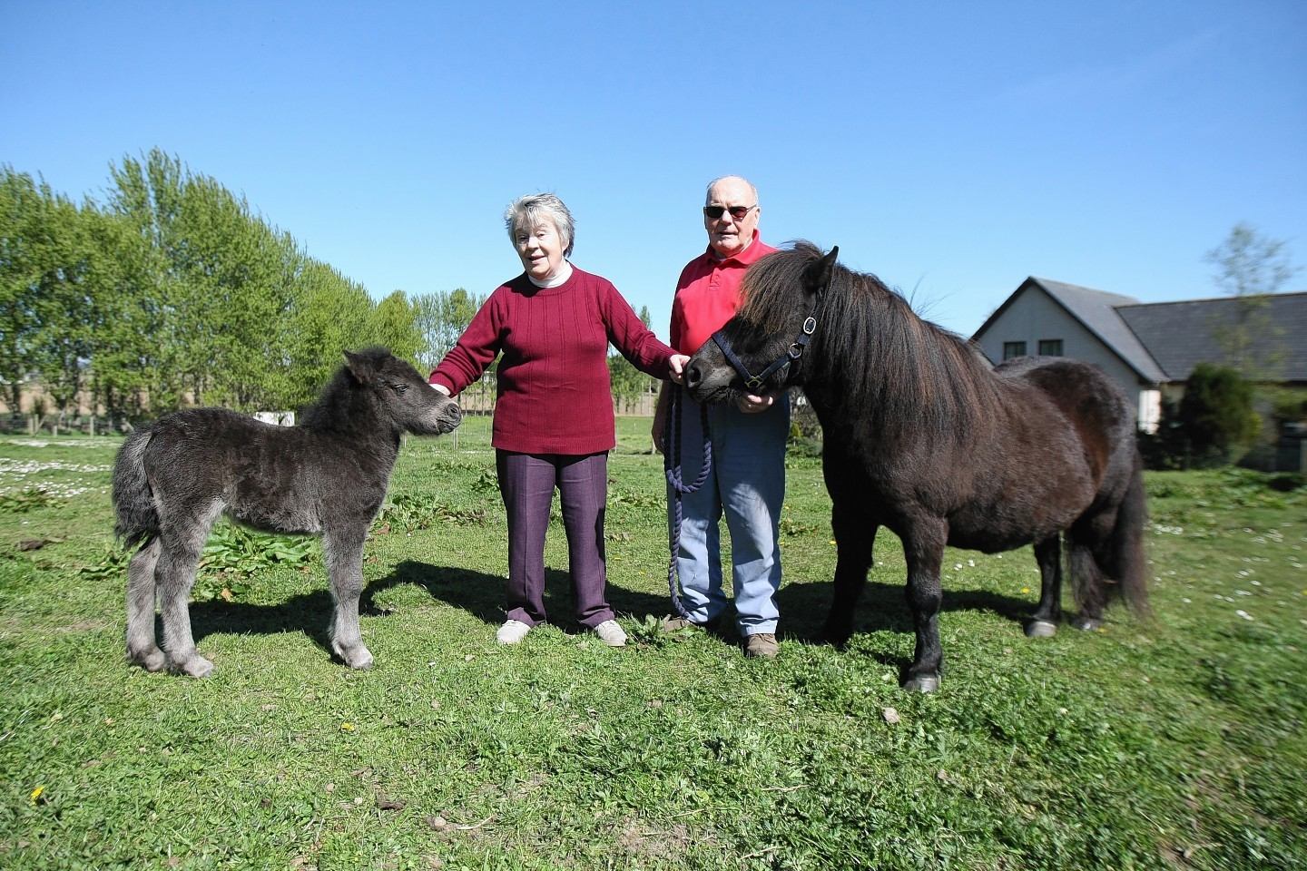 Anne and Ken Scott with some of their Shetland ponies
