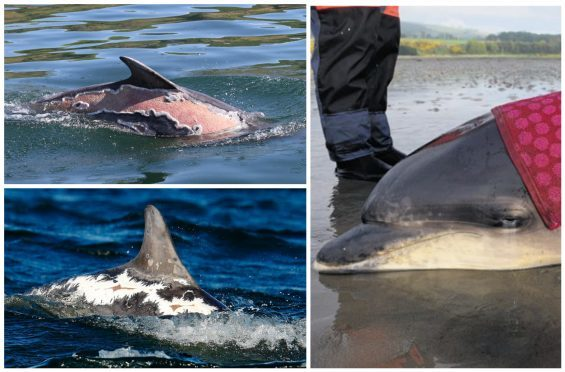 Spirtle the bottlenose is making a full recovery from her sunburns. Bottom left image courtesy of Whale and Dolphin Conservation/Charlie Phillips.