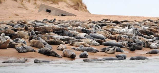 The seal colony at Forvie is a protected site.