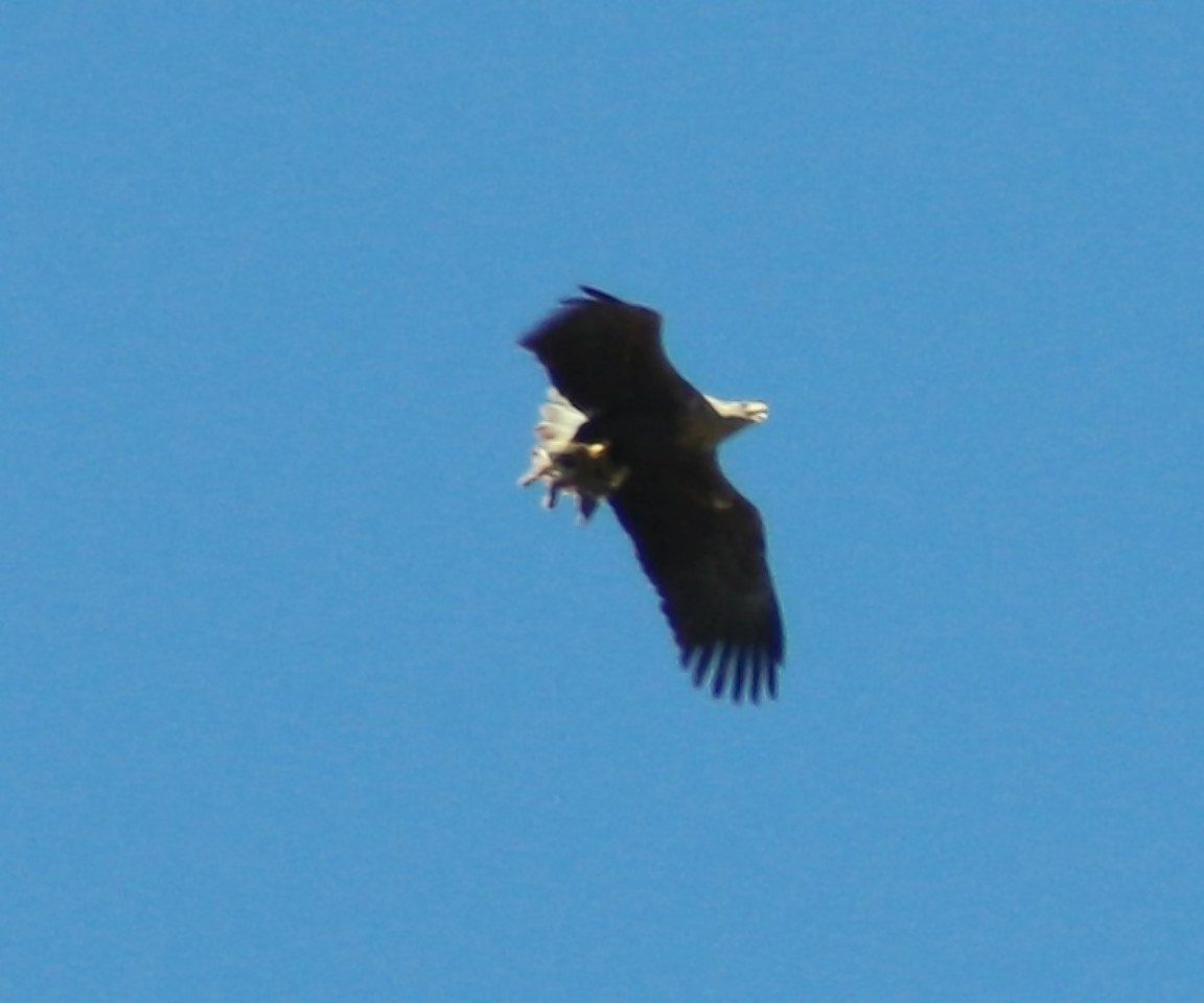 A white tailed sea eagle carrying a lamb over North Connel.  Photo by Rosie Robinson