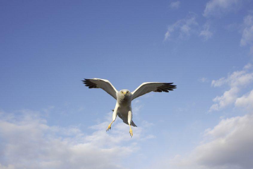 Male hen harrier in flight, dive bombing intruder at nest. Sutherland, Scotland. June.