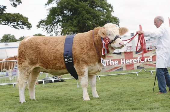 The Simmental champion.