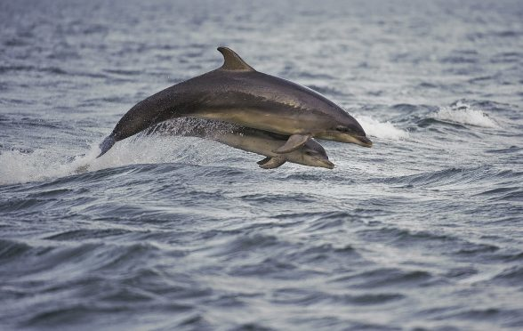Campaigners worry about the impact of electronic scarers at fish farms on whales and dolphins