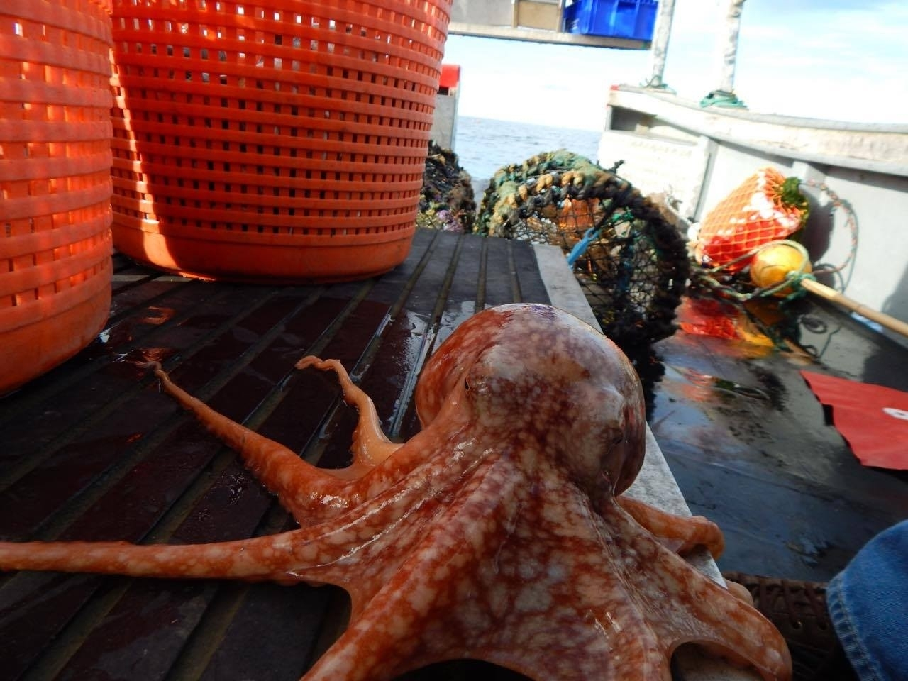 The octopus was found 500 yards off the Banffshire coast. Pictures by Reg Connon.