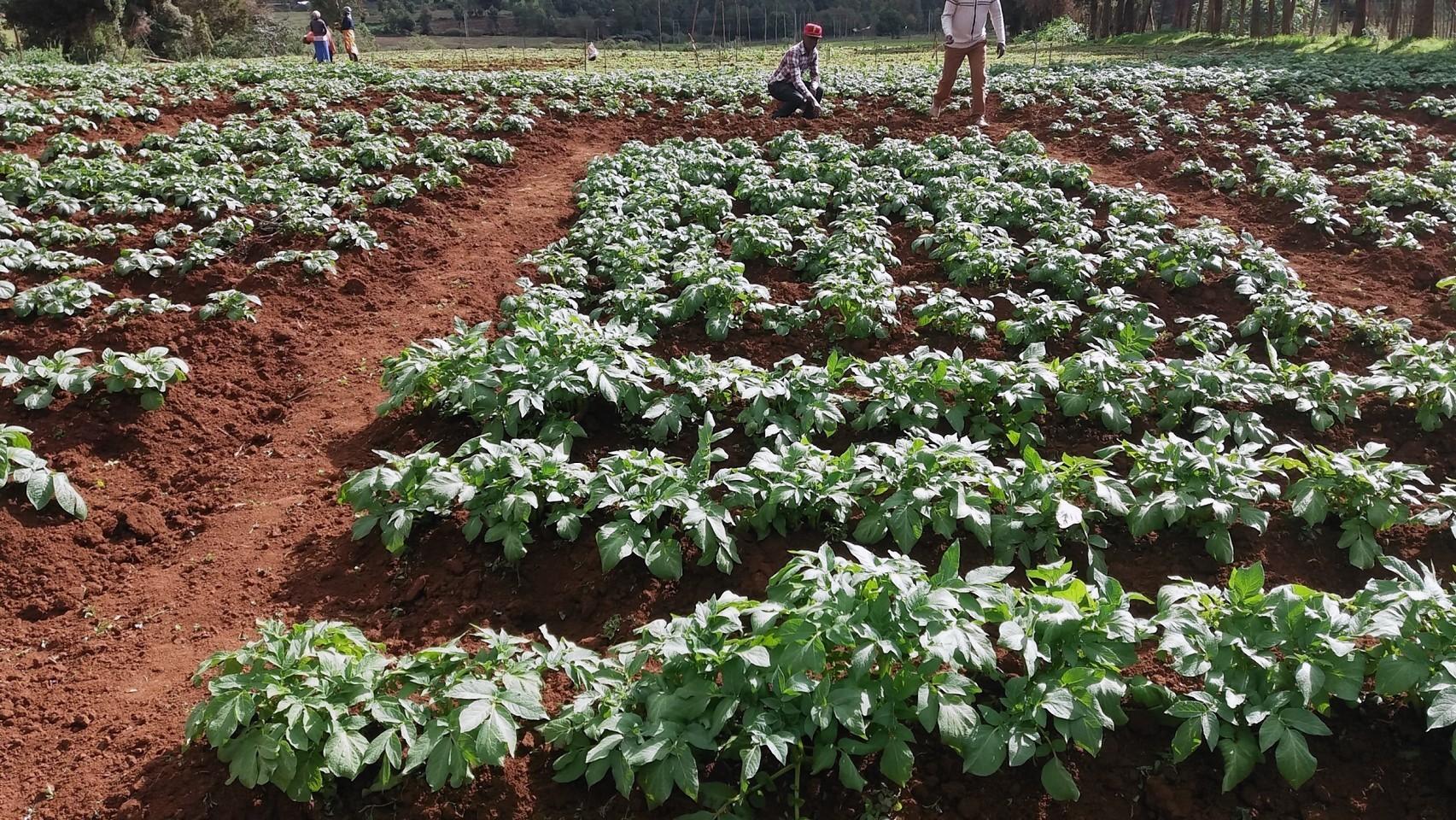 Ten varieties were trialled in Kenya.