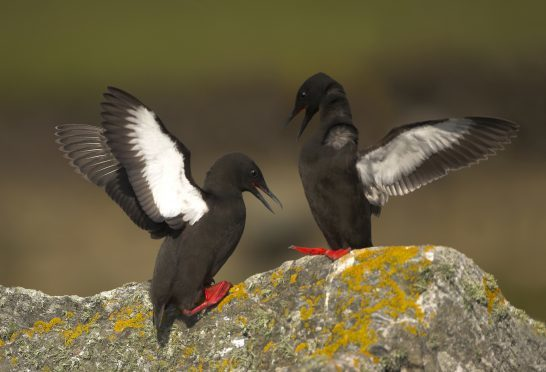 Black guillemots Cepphus grylle, displaying on a lichen covered rock, Shetland Isles