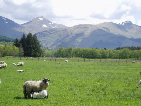 Sheep at the research farms.