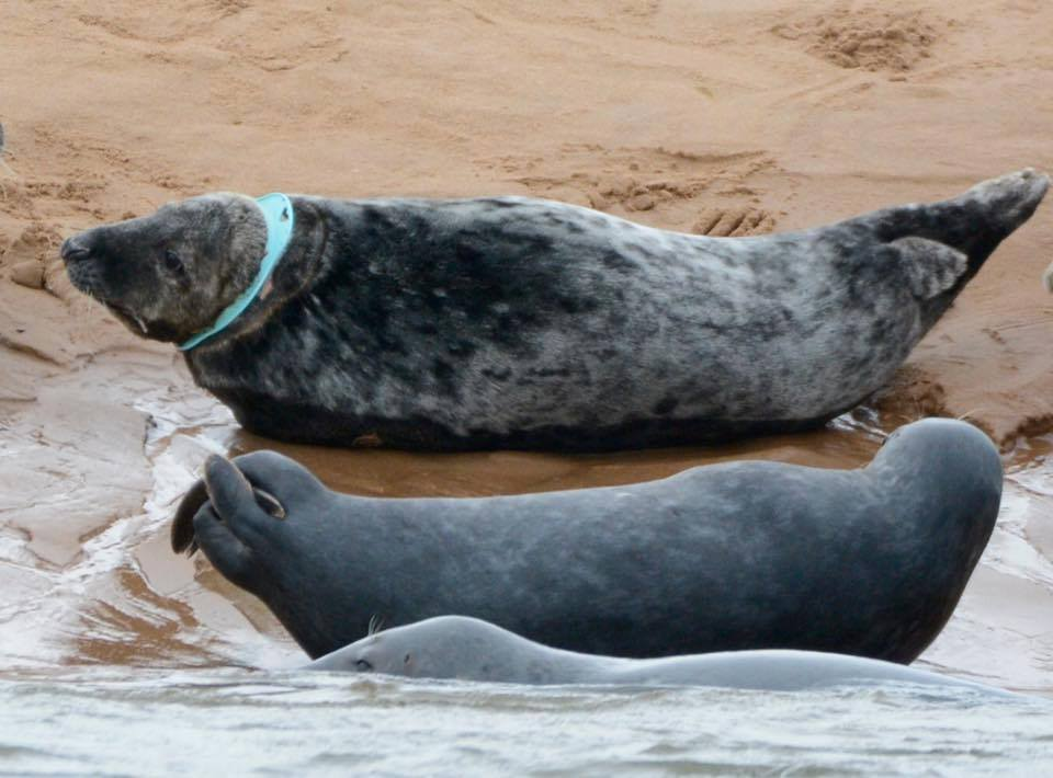 Frisbee the seal pictured recently at the Ythan estuary. (Photo credit: Ron MacDonald).