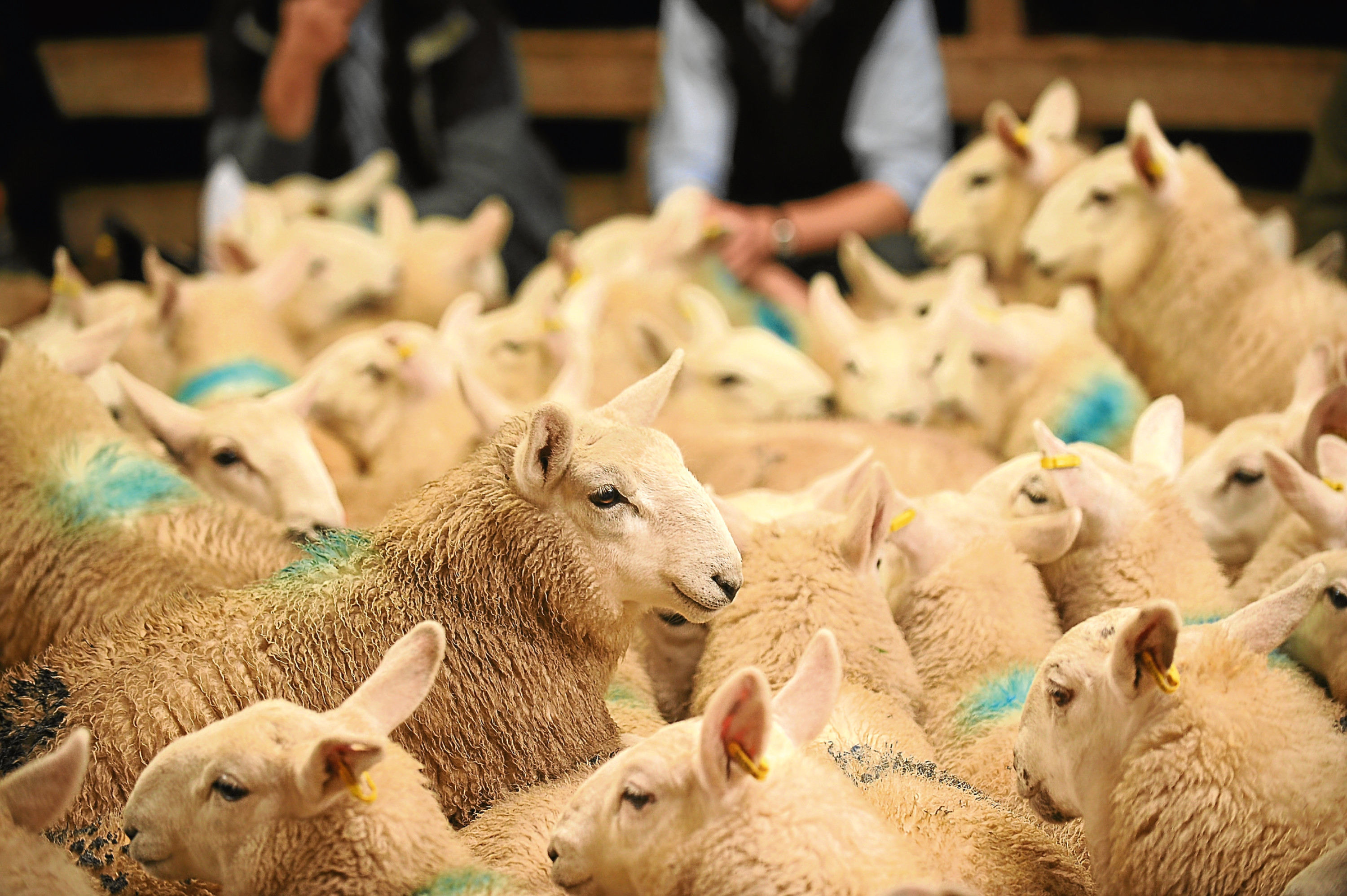 The auctioneers' representative body has drawn up a scheme to compensate sheep farmers in the event of a no-deal Brexit.