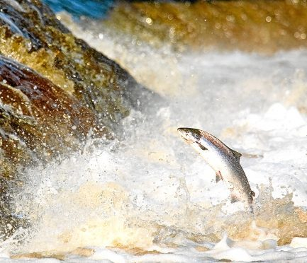 A hen Salmon leaping rapids