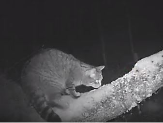 The elusive pure Scottish wildcat caught on video in Huntly.