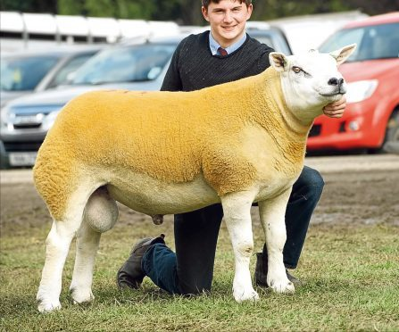 The top price Texel from Midlock selling for £23,000